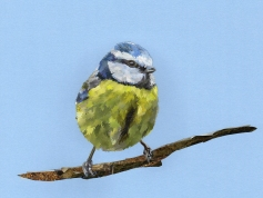 Bluetit for calendar